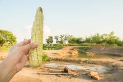 Eat kochte Zuckermais an der Landschaft stockfotografie