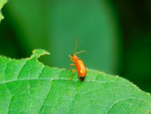 A common red soldier beetle royalty free stock photo