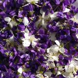 Eatable blossoms. Of violets and sloes royalty free stock image