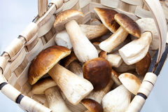 Eatable fungi Stock Image