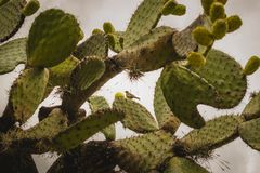 Nopal cactus with many figs in Mexico stock images