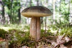Edible mushroom Stock Images