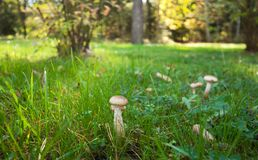 Eatable mushrooms. Ð¡loseup of eatable mushrooms growing at grass royalty free stock photo