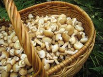 Eatable mushrooms in the big basket Stock Image