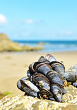 Eatable mussels. On a coast when it is low tide royalty free stock photo