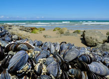 Eatable mussels on a coast Royalty Free Stock Images