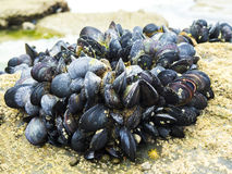 Eatable mussels on a rock Royalty Free Stock Photos