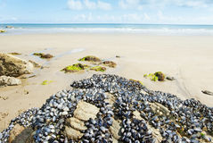 Eatable mussels on rocks. Eatable mussels on a rocks at low tide time Royalty Free Stock Photo