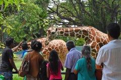 eatching Girafs在动物园, Dehiwala的人们 科伦坡lanka sri 免版税图库摄影