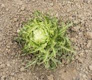 Eaten cabbage Royalty Free Stock Photos