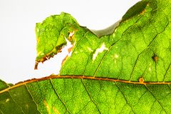 Eaten damaged green leaf with holes detailed rugged surface structure extreme macro closeup photo.  Detailed leaf pattern nature. Texture eco green biology stock image