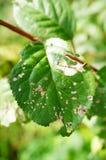 Eaten leaf Royalty Free Stock Photo