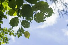 Eaten morus alba green leaves. And blue sky background Stock Photography