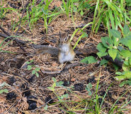 The eater of mushrooms and berries. Chipmunk himself. Standing on his hind legs royalty free stock photos
