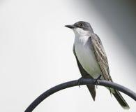 eatern kingbird Obraz Stock
