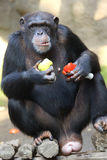 Eatin chimpanzee Royalty Free Stock Images