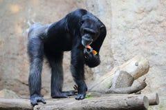 Eatin chimpanzee Stock Photography