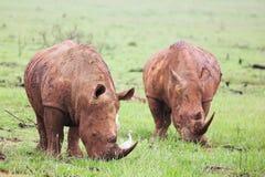Eatin de rhinocéros encroûté par boue image libre de droits