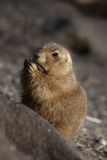 Eating. A photo of a groundhog stock images