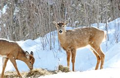 Eating. Mother and baby deer eating in nature during winter Royalty Free Stock Photo