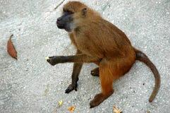 Eating. Monkey eating Royalty Free Stock Image