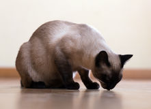 Eating adult Siamese cat Stock Photo
