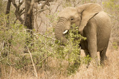 Eating Africal Elephant. An African Elephant that is eating parts of a three Stock Image