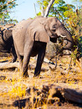 Eating african elephant Royalty Free Stock Photo