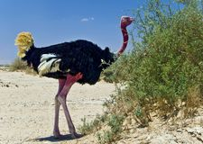 Eating african ostrich in hai-bar, Israel Stock Photo
