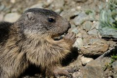 Eating Alpine Marmot. This squirrel is pulling on a little plant to eat it Royalty Free Stock Image