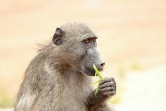 Eating baboon on safari in Krugerpark in South Africa. Beautiful eating baboon on safari in Krugerpark in South Africa Royalty Free Stock Images