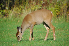 Eating baby deer 2 Royalty Free Stock Images