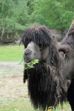 Eating Bactrian camel Royalty Free Stock Photography