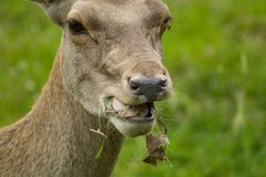 Eating bactrian deer Stock Images