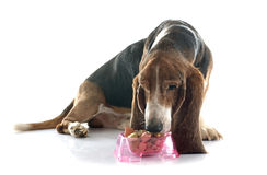 Eating basset hound. In front of white background royalty free stock photo