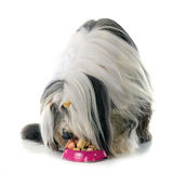 Eating bearded collie Royalty Free Stock Images