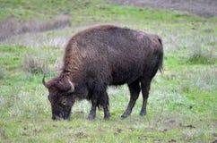 Eating bison Royalty Free Stock Photos