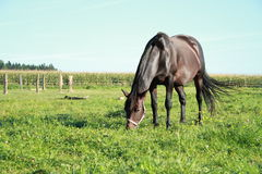 Eating black horse Royalty Free Stock Photography