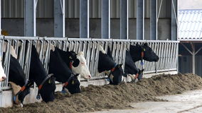 Eating black-white cows in dutch stable stock video footage