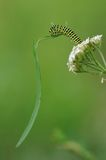 Eating The Blade Of Grass. This is the caterpillar of a old world swallowtail. The caterpillar is eating a blade of grass Stock Photo