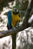 eating blue and gold  parrot Royalty Free Stock Images