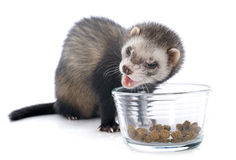 Eating brown ferret Royalty Free Stock Photo