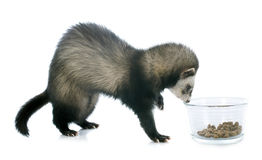 Eating brown ferret Stock Photography