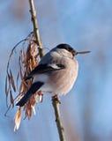 Eating Bullfinch on the tree Stock Image