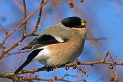 Eating Bullfinch on the tree Royalty Free Stock Image