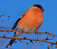 Eating Bullfinch on the tree Royalty Free Stock Photography