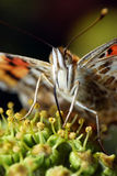 Eating Butterfly Royalty Free Stock Photography