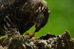 Eating Buzzard Royalty Free Stock Photo