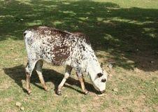 Eating calf Stock Photo