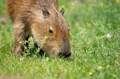 Eating capibara Stock Photography